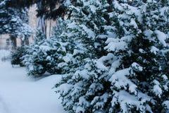 Winterfrost auf Buxusniederlassung lizenzfreies stockbild
