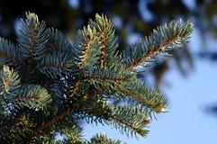 Winterfrost auf Fichtenzweig gegen den blauen Himmel stockfotografie