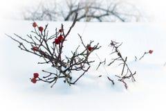 Wintergarden djupfrysta thujafilialer som täckas med snö fotografering för bildbyråer