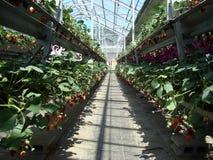Wintergarden met aardbeien Stock Foto