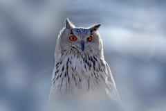 Wintergesichtsporträt der Eule Ostsibirier Eagle Owl, Bubo Bubo sibiricus, sitzend auf kleinem Hügel mit Schnee in der Waldbirke  Stockfotos