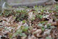 Wintergreen around a Log stock photography