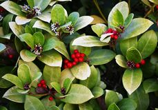 Wintergreen Gaultheria procumbens με τα κόκκινα μούρα στοκ φωτογραφίες