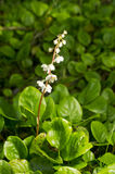 Wintergreen. Pyrola, Wintergreen. White blooming flower in natural environment Stock Photo