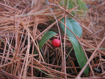 Wintergreen Stock Image