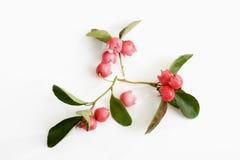 Wintergreen teaberry, Gaultheriaprocumbens Fotografering för Bildbyråer