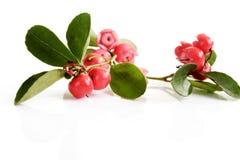Wintergreen teaberry, Gaultheriaprocumbens Arkivbilder