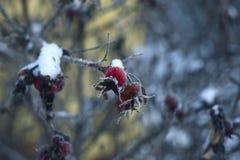 Winterhagebutten lizenzfreie stockbilder