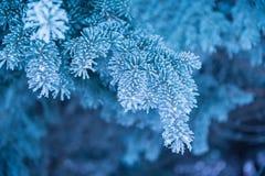 Winterhintergrund, Abschluss oben der bereiften Kiefernniederlassung auf einem Schneien Lizenzfreies Stockbild