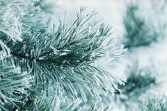 Winterhintergrund der Kiefernniederlassung im Schnee und des Frosts an einem kalten Tag Orange Blüten-Blume in der Makrofotograph Stockfoto