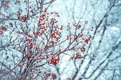 Winterhintergrund mit Niederlassungen der roten Eberesche bedeckt mit Reif Stockbild