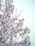 Winterhintergrund mit Niederlassungen der roten Eberesche bedeckt mit Reif Stockfotografie