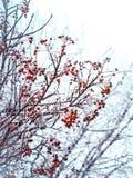 Winterhintergrund mit Niederlassungen der roten Eberesche bedeckt mit Reif Lizenzfreies Stockfoto