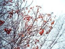 Winterhintergrund mit Niederlassungen der roten Eberesche bedeckt mit Reif Lizenzfreie Stockfotos