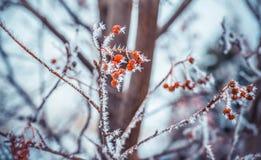 Winterhintergrund mit Niederlassungen der roten Eberesche bedeckt mit Reif Stockfotos