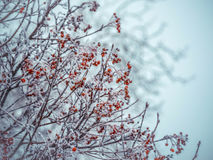 Winterhintergrund mit Niederlassungen der roten Eberesche bedeckt mit Reif Lizenzfreies Stockbild