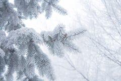 Winterhintergrund - weißer eisiger Tannenzweig Lizenzfreie Stockbilder