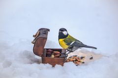 Feeding tomtit while snowy winter stock images