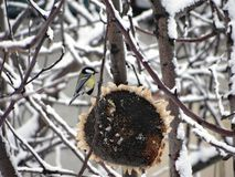 Wintering birds of central Russia - tit. royalty free stock photography