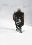 Wintering Bison Royalty Free Stock Photos