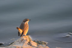 Wintering Bluethroat in Sinai, Egypt Stock Photography