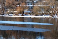 Wintering ducks. In the city of Zhitomir ducks winter on the river Teteriv stock images