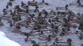 Wintering ducks feed in unfrozen pond stock video