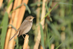 Wintering female Bluethroat among reeds, Egypt Royalty Free Stock Photos