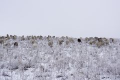 Wintering. Flock of sheep graze in the winter. royalty free stock images