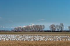Wintering Lesser Snow Geese, Chen-caerulescens, einziehend und stehen auf dem Bauernhofgebiet, Brunswick-Punkt BC Kanada still stockfoto