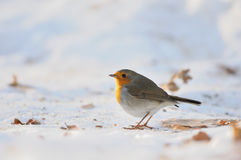 Wintering Robin walking in the snow Stock Photo