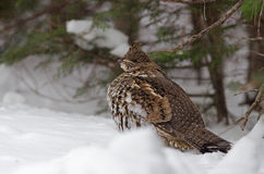Wintering Ruffed grouse Stock Photo