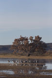 Wintering Sandhill Cranes Royalty Free Stock Photography