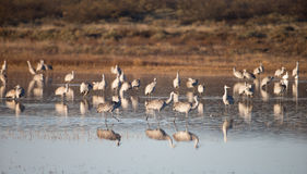 Wintering Sandhill Cranes Royalty Free Stock Images