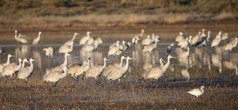 Wintering Sandhill Cranes Royalty Free Stock Photo