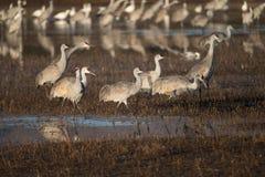 Wintering Sandhill Cranes Stock Image