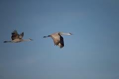 Wintering Sandhill Cranes Royalty Free Stock Photos