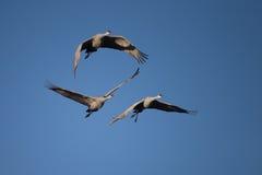 Wintering Sandhill Cranes Stock Photo