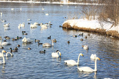 Wintering swans and ducks Royalty Free Stock Images