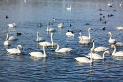Wintering of swans Stock Photo