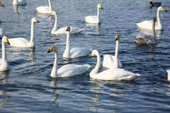 Wintering of swans Royalty Free Stock Photos