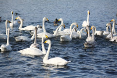 Wintering of swans Royalty Free Stock Images