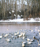 Wintering of swans on lake in Altai Royalty Free Stock Photo