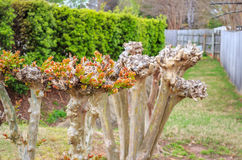 Winterized Crape Myrtle Spring New Growth Royalty Free Stock Images