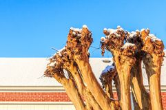 Winterized Snow Capped Crape Myrtle in Alabama. Rare snow in Montgomery, Alabama snow caps winter groomed Crape Myrtle and a neighboring roof top.  The last snow Stock Photo