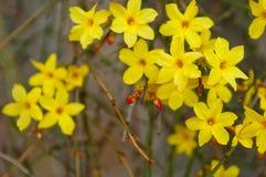 Winterjasmin Jasminum nudiflorum Gelbblume lizenzfreies stockfoto
