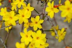 Winterjasmin Jasminum nudiflorum Gelbblume lizenzfreie stockfotografie