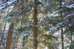 Winterkiefern-Waldnatur schneebedeckt lizenzfreie stockbilder