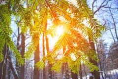Winterkiefern-Waldnatur schneebedeckt die Lichter einer Sonne stockfoto