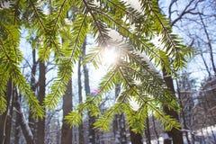 Winterkiefern-Waldnatur schneebedeckt die Lichter einer Sonne lizenzfreies stockbild
